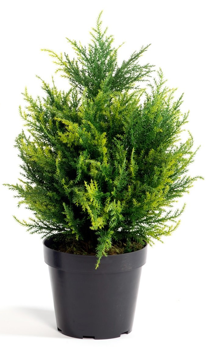 Potted Cypress 50cm